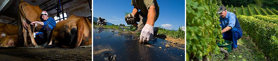 plantation de fenouil - Guy Carraz - Vimines - Savoie